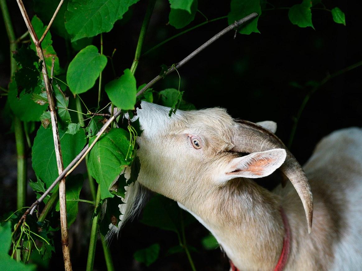 Goat Fund Me