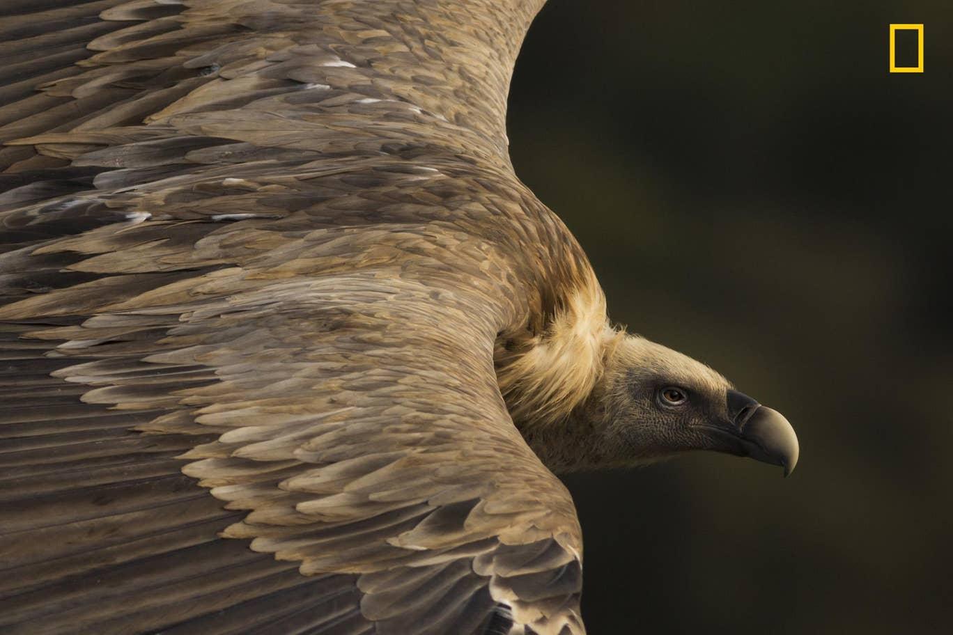 Griffen Vulture